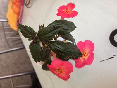 Ещё одна страсть - комнатные цветы  - IMG_2672.JPG