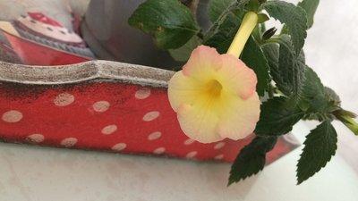 Ещё одна страсть - комнатные цветы  - IMG_2977.JPG