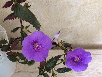 Ещё одна страсть - комнатные цветы  - IMG_2990.JPG