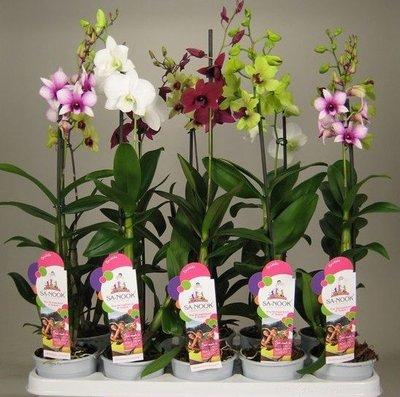 Ещё одна страсть - комнатные цветы  - IMG_3059.JPG