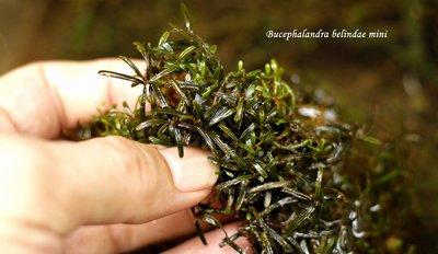 bucephalandra belindae mini - 8 portion - 22879373_10209697743274116_1947321382_o.jpg