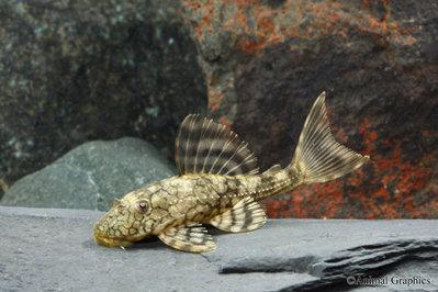 Snakeskin Pleco Hypostomus faveolus l037  - IMG_2597.JPG