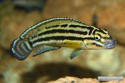 Julidochromis regani gold Sambia - IMG_2611.JPG