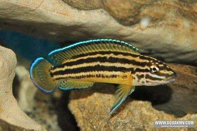 Julidochromis regani gold Sambia - IMG_2612.JPG
