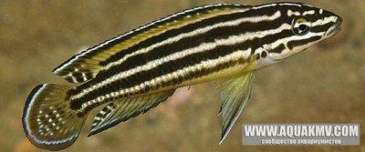 Julidochromis regani gold Sambia - IMG_2613.JPG
