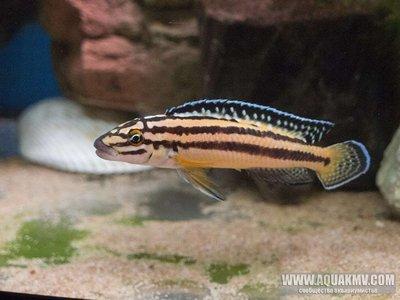 Julidochromis marksmithi - large.jHIESlDhjv4.jpg.4a09929cf987f3781c17af9118d764a4.jpg