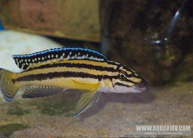 Julidochromis marksmithi - large.Eid3ui3dK2w.jpg.069e507d218617bb033060c862effebc.jpg