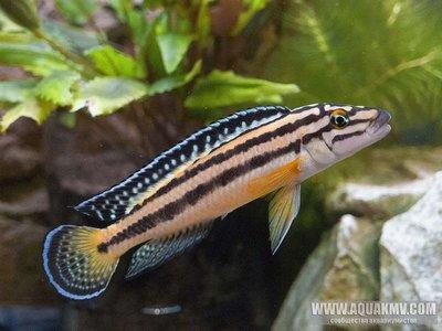 Julidochromis marksmithi - large.4aHC2RyPNpQ.jpg.0da86e9d9af67c9baf1ee415216f5e7c.jpg