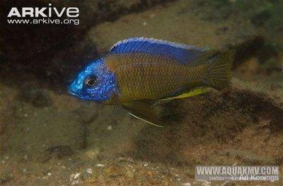 Copadichromis mbenjii - large.Haplochromis-quads-male-in-habitat.jpg.73a1b5bb57683c8e8047bbd15f20e7f2.jpg