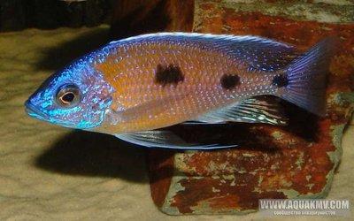 Copadichromis mbenjii - large.db_Copadichromis_borleyi_Mbenji1.jpg.3baf75801790e0732503aeded88fc11c.jpg