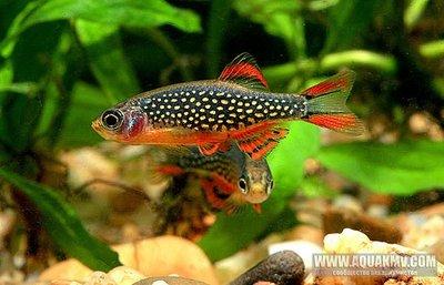 Рыбки в наличии и под заказ - Галактика.jpg