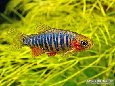 Рыбки в наличии и под заказ - Эритромикрон.jpg