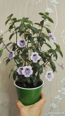 Ещё одна страсть - комнатные цветы  - IMG_20180606_225424.jpg