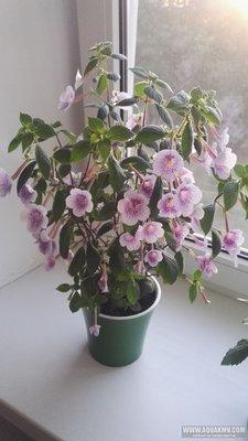 Ещё одна страсть - комнатные цветы  - IMG_20180620_195001.jpg