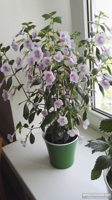 Ещё одна страсть - комнатные цветы  - IMG_20180703_072028.jpg