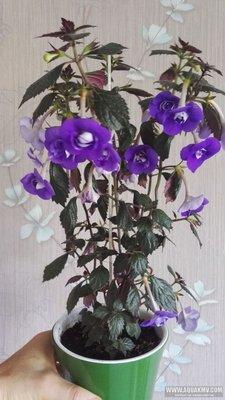 Ещё одна страсть - комнатные цветы  - IMG_20180718_073816.jpg