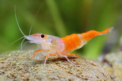 Рили Neocaridina heteropoda rili  - орили.jpg