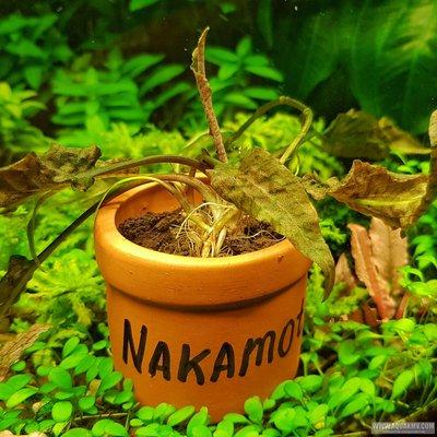 Cryptocoryne nakamotoi Central Borneo  - 20190223_185200-01.jpeg
