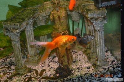 Отдам золотых рыбок - DSC_0005.JPG