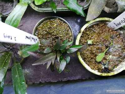 Cryptocoryne Alba green