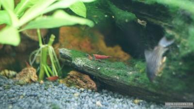 Вишневые Креветки Neocaridina denticulata Red Cherry  - DSC02493.JPG