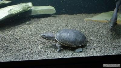 Обыкновенная мускусная черепаха Sternotherus odoratus  - DSC02595.JPG