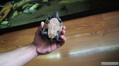 Обыкновенная мускусная черепаха Sternotherus odoratus  - DSC02603.JPG