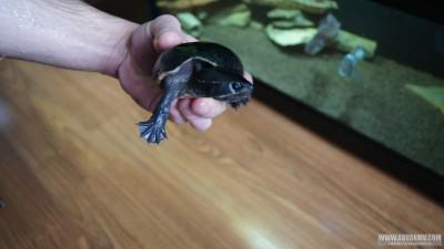 Обыкновенная мускусная черепаха Sternotherus odoratus  - DSC02605.JPG