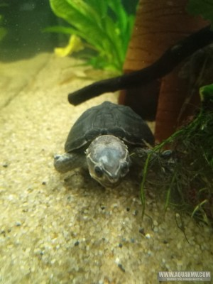 Обыкновенная мускусная черепаха Sternotherus odoratus  - IMG-20201118-WA0001.jpg