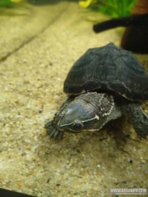Обыкновенная мускусная черепаха Sternotherus odoratus  - IMG-20201118-WA0002.jpg