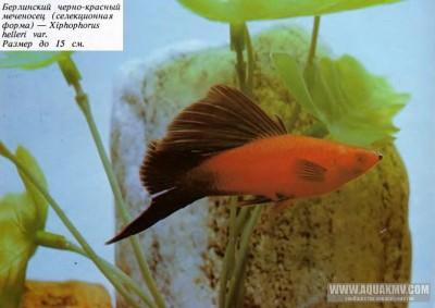 Местная рыба  - berlinskiy-cherno-krasnyy-mechenosec-selekcionnaya-forma.jpg