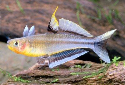 Голубоглазки псевдомогулы - P.connieae.GS[1].jpg
