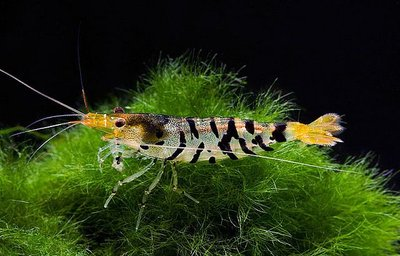 Тигр Tiger Shrimp  - Тигррррр.jpg