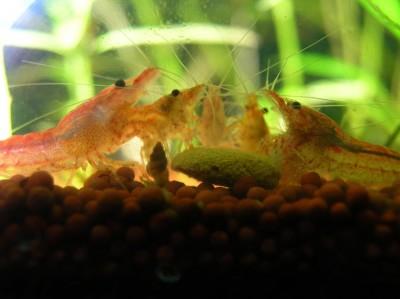 Вишневые Креветки Neocaridina denticulata Red Cherry  - 530pkh.jpg