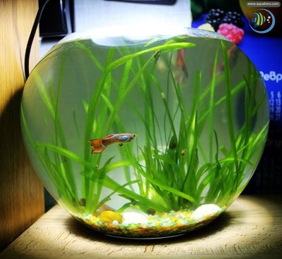 Астраханский форум аквариумистов - Золотая Оранда - IMG_1502.JPG