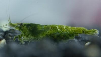 Креветки Neocaridina Неокардина - neocaridina-davidi-var-green-ex-heteropoda_02.jpg