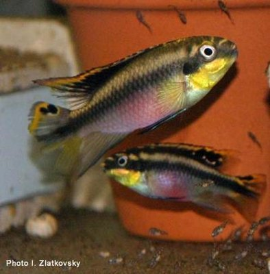 пельвикохромис - pelvicachromis_pulcher2.jpg