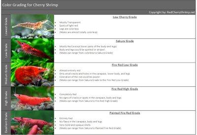Вишневые Креветки Neocaridina denticulata Red Cherry  - Cherry-Shrimp-Grading-for-Freshwater-Shrimp-in-Aquariums-Red-Cherry-Shrimp.jpg