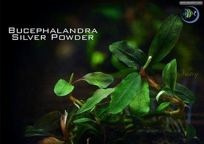 Bucephalandra sp. Silver Powder - 7709305932_8861d681d7_b.jpg