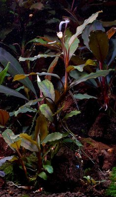 Bucephalandra sp. Silver Powder - Bucephalandra sp. Silver Powder, West Kalimantan_metal2.jpg