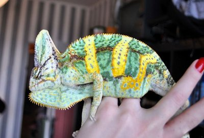 Йеменский хамелеон Chamaeleon calyptratus  - 1.jpg