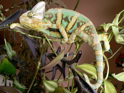 Йеменский хамелеон Chamaeleon calyptratus  - 2.jpg