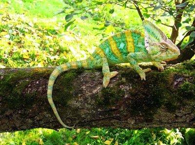 Йеменский хамелеон Chamaeleon calyptratus  - 3.jpg