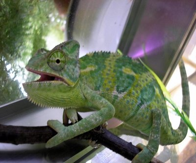 Йеменский хамелеон Chamaeleon calyptratus  - 4.jpg
