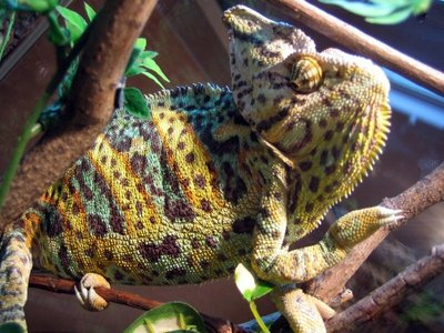 Йеменский хамелеон Chamaeleon calyptratus  - 6.jpg