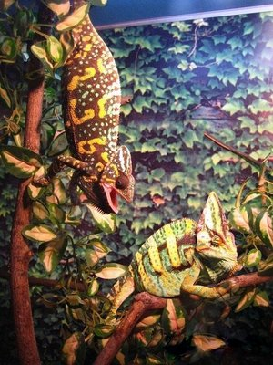 Йеменский хамелеон Chamaeleon calyptratus  - 7.jpg
