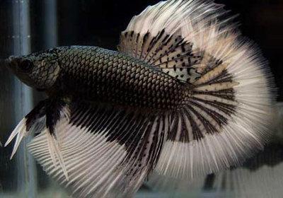 Петушок, или бойцовая рыбка Betta splendens  - 42931571.jpg