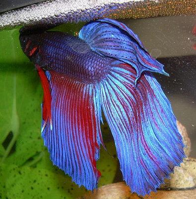 Петушок, или бойцовая рыбка Betta splendens  - petushok5.jpg