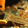 Krevetka-Amano-Caridina-multidentata-005.jpg