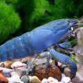 shrimp-philtrator-atya-gabonensis[1].jpg